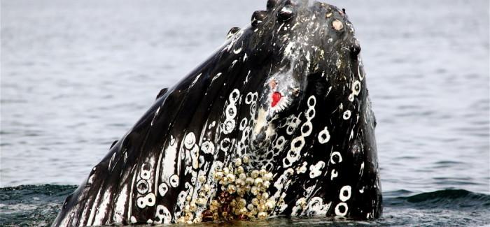 Les baleines en Minganie en vidéo