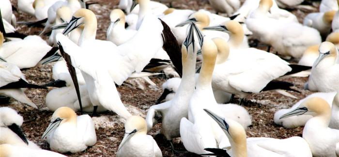Les Fous de Bassan de l'Île Bonaventure en vidéo