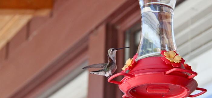 Un hummingbird, ça trompe énormément !