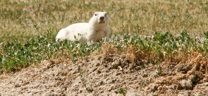 Les seuls chiens de prairie blancs au monde