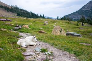 """#4 par Mathilde Piton. """"Mountain goat sur le chemin à Glacier"""""""