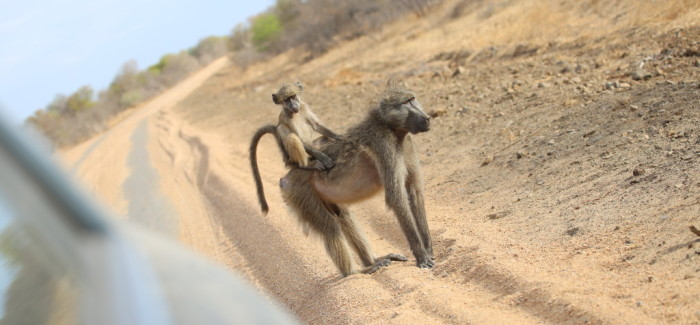 Roadtrip-safari en Afrique du sud : le bilan